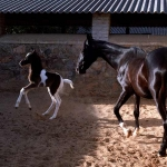 Bhavani Villa in Stable of Marwari Horses Activity